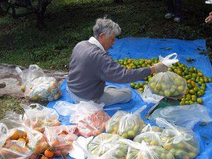 ミカン園収穫