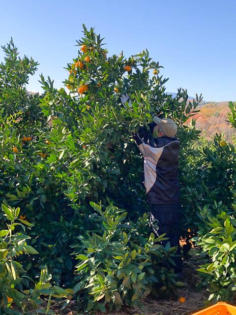 みかんの収穫作業